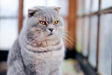Cute Grey Cat Near The Window.