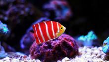Peppermint Angelfish (Paracentropyge Boylei)