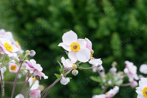 Photographie pink garden anemone flowers