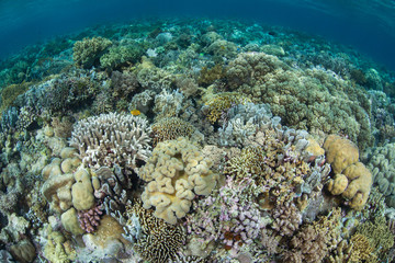 Hard and soft corals compete for space to grow on a healthy reef flat in Wakatobi National Park, Indonesia. This tropical area, south of Sulawesi, is known for its incredible marine biodiversity.