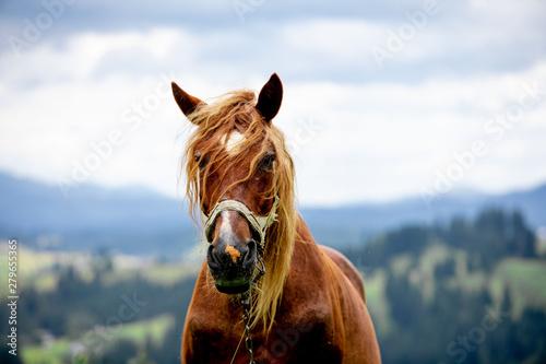 Foto  brown horse close up portrait