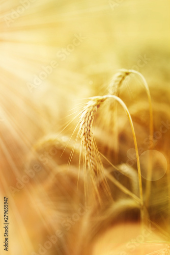 Wheat in the organic agriculture
