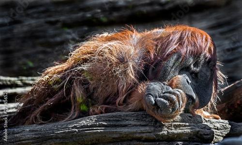 Bornean orangutan male on the stone Canvas Print