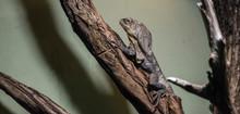 The Frilled-necked Lizard (Chlamydosaurus Kingii).