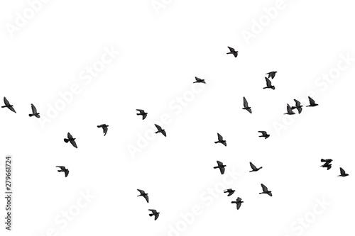 Fototapeta Flocks of flying pigeons isolated on white background. Clipping path. obraz
