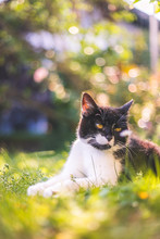 Cute Cat Is Enjoying The Summer. Black White Cat Is Lying In The Grass Of The Own Garden, Blurry Colorful Background