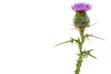 A Large Isolated Thistle With ...