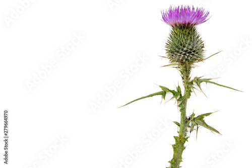 A large isolated Thistle with stem and leaves weighted to the right with room fo Canvas Print