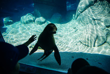 Young Seal In A Park Aquarium In Mexico City