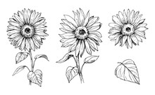 Sketch Of Sunflower. Hand Draw...