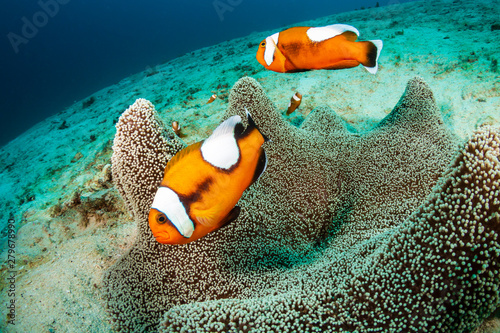 A family of beautiful Saddleback Clownfish (Amphiprion polymnus) in a carpet ane Wallpaper Mural