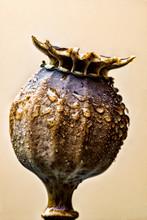 Poppy Seed Pod Macro 01