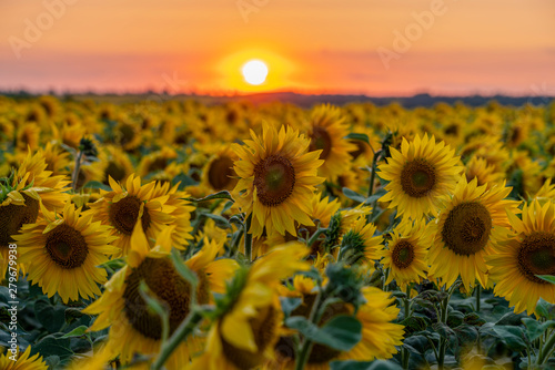 In de dag Zonnebloem crimson sunset over the field of flowering sunflower