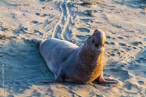 Valokuvatapetti Elephant Seal, San Simeon, California