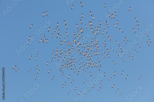 A squadron of pelicans Slika na platnu