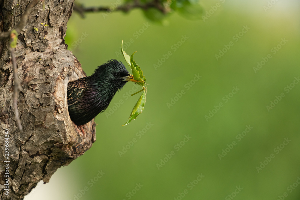 Fototapeta Common starling looking out of a tree hole