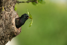 Common Starling Looking Out Of A Tree Hole