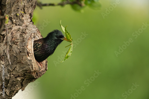 Common starling looking out of a tree hole Canvas Print