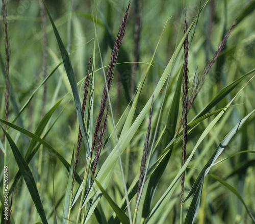 Carex acutiformis, the lesser pond-sedge Tapéta, Fotótapéta
