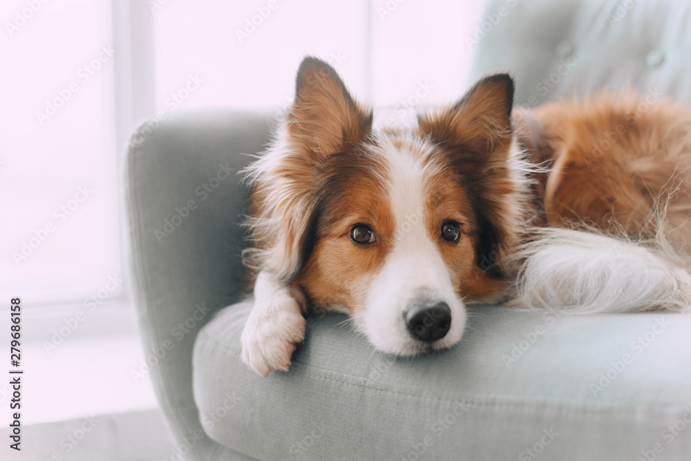 Fototapety, obrazy: Border collie dog lying on the couch