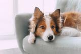 Fototapeta Zwierzęta - Border collie dog lying on the couch
