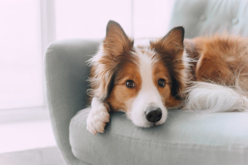 FototapetaBorder collie dog lying on the couch