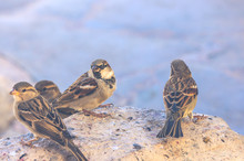 Group Of Sparrows Sitting On Stone Near Water