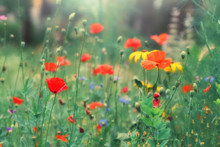 Colorful Floral Background. Red Poppies, Yellow Daisies On A Background Of Green Grass In The Sunlight, Meadow.