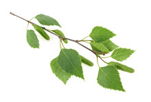 Isolated Image Of Young Birch ...