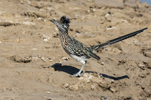 Wild Roadrunner In Big Bend National Park Going To The Rio Grande River To Get A Drink Of Water In Texas.