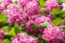 Pink Hydrangea, Soft Focus. Beautiful Flowers In Nature. Hydrangea Macrophylla