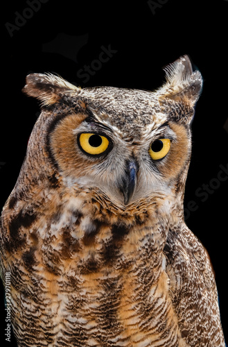 A wild Great Horned Owl in Monterey, California.