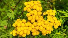 Tansy Flower Closeup