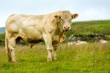 Bull, Large Charolais Bull Stood In Summer Pasture With Ring Through His Nose.