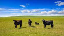 Cows In A Pasture, Clear Blue ...