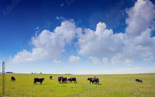 Photo Cows in a pasture, clear blue sky in a sunny spring day, Texas, USA