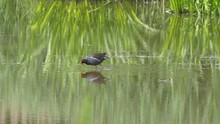 A Wild Moorhen, Wading Bird, Feeding In Shallow Water Of A Large Lake In Southern UK During Spring