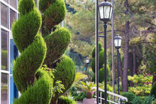 Green Spirals Topiary Of Cypress In Sunny Park Close