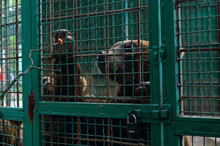 Portrait Of Brown Bear In A Cage Under The Lock Pulls Paw To The Food. The Concept Of Environmental Protection And Wildlife. Wild Animals In A Zoo In Captivity.