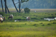 Wild Horses On Assateague Island Near Chincoteague, Virginia