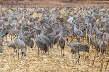 Flock Of Sandhill Cranes In Ag...