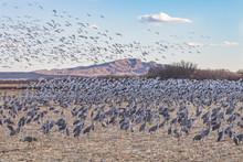 Snow Geese Landing In Field Of Sandhill Cranes