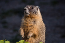 A Close Up Portrait Of A Cute Brown Ground Hog Standing Behind Green Leaves In The Garden Under The Sun Looking Around