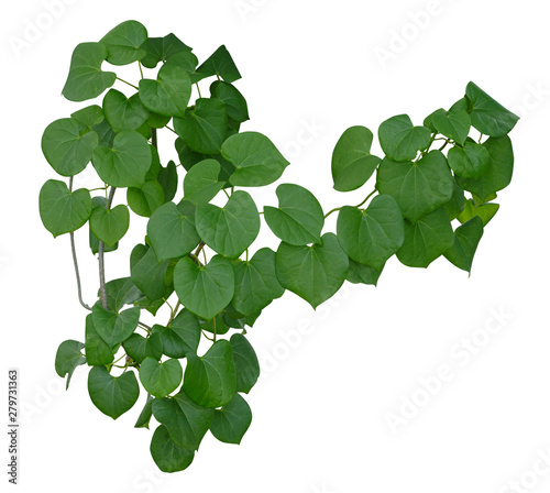 Plant vine green ivy leaves tropic hanging, climbing isolated on white background. Clipping path Wall mural
