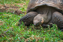 Giant Land Tortoise Eating Grass In Galapagos Islands