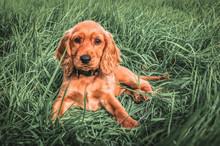 English Cocker Spaniel Puppy Lying On The Grass