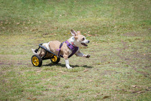Disabled Dog With Prosthetic L...