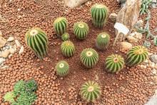 Top View Various Types Golden Barrel Cactus In The Garden.