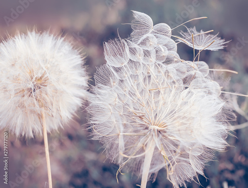 Fototapety, obrazy: Large fluffy dandelion balls close-up. Art photo. natural background of the garden.