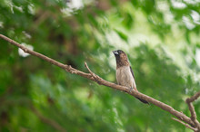 White Rumped Munia (Lonchura Striata) Perching On A Branch In The Garden With Yellow Sunlight. Copy Space Nature Wallpaper.